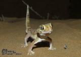 "<a href=""http://www.reptarium.cz/en/taxonomy/Teratoscincus-microlepis/photogallery/33030"">Photo of <em>Teratoscincus microlepis</em></a> by <a href=""http://www.reptarium.cz/en/profiles/6421"">Barbod Safaei Mahroo</a>"