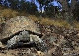 "<a href=""http://www.reptarium.cz/en/taxonomy/Testudo-graeca/photogallery/33690"">Photo of <em>Testudo graeca</em></a> by <a href=""http://www.reptarium.cz/en/profiles/6579"">Omid Mozaffari</a>"