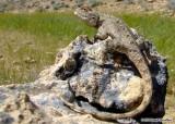 """<a href=""""http://www.reptarium.cz/en/taxonomy/Trapelus-agilis/photogallery/33634"""">Photo of <em>Trapelus agilis</em></a> by <a href=""""http://www.reptarium.cz/en/profiles/6579"""">Omid Mozaffari</a>"""