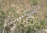 """<a href=""""http://www.reptarium.cz/en/taxonomy/Trapelus-agilis/photogallery/33637"""">Photo of <em>Trapelus agilis</em></a> by <a href=""""http://www.reptarium.cz/en/profiles/6579"""">Omid Mozaffari</a>"""