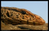 "<a href=""http://www.reptarium.cz/en/taxonomy/Varanus-bengalensis/photogallery/33091"">Photo of <em>Varanus bengalensis</em></a> by <a href=""http://www.reptarium.cz/en/profiles/5044"">Pratik Pradhan</a>"