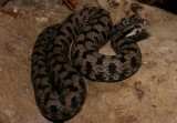 "<a href=""http://www.reptarium.cz/en/taxonomy/Vipera-aspis/photogallery/33599"">Photo of <em>Vipera aspis</em></a> by <a href=""http://www.reptarium.cz/en/profiles/3200"">Jan Detka</a>"