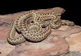 "<a href=""http://www.reptarium.cz/en/taxonomy/Vipera-renardi/photogallery/22491"">Photo of <em>Vipera renardi</em></a> by <a href=""http://www.reptarium.cz/en/profiles/3200"">Jan Detka</a>"