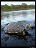 Brown roofed turtle