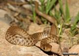 "<a href=""http://www.reptarium.cz/en/taxonomy/Eirenis-punctatolineatus/photogallery/33799"">Photo of <em>Eirenis punctatolineatus</em></a> by <a href=""http://www.reptarium.cz/en/profiles/6579"">Omid Mozaffari</a>"