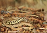 "<a href=""http://www.reptarium.cz/en/taxonomy/Platyceps-ventromaculatus/photogallery/34726"">Photo of <em>Platyceps ventromaculatus</em></a> by <a href=""http://www.reptarium.cz/en/profiles/6421"">Barbod Safaei Mahroo</a>"