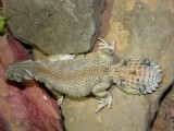 "<a href=""http://www.reptarium.cz/en/taxonomy/Uromastyx-thomasi/photogallery/34617"">Photo of <em>Uromastyx thomasi</em></a> by <a href=""http://www.reptarium.cz/en/profiles/4"">Petr Behul</a>"