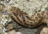 "<a href=""http://www.reptarium.cz/en/taxonomy/Vipera-ursinii/photogallery/34697"">Photo of <em>Vipera ursinii</em></a> by <a href=""http://www.reptarium.cz/en/profiles/6421"">Barbod Safaei Mahroo</a>"