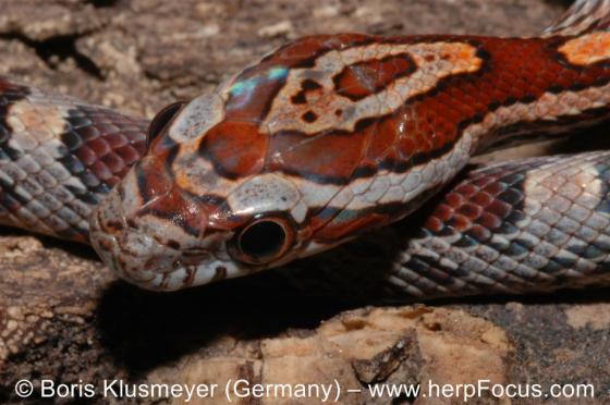Pantherophis guttatus | The Reptile Database