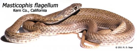 Image result for Masticophis flagellum