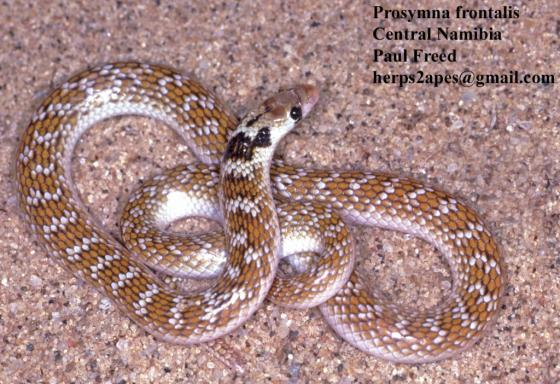 Prosymna frontalis | The Reptile Database