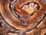 """<a href=""""http://www.reptarium.cz/en/taxonomy/Acrantophis-madagascariensis/photogallery/2457"""">Photo of <em>Acrantophis madagascariensis</em></a> by <a href=""""http://www.reptarium.cz/en/profiles/259"""">Vladimír Trailin</a>"""
