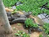 "<a href=""http://www.reptarium.cz/en/taxonomy/Alligator-mississippiensis/photogallery/3707"">Photo of <em>Alligator mississippiensis</em></a> by <a href=""http://www.reptarium.cz/en/profiles/199"">Miroslav Procházka</a>"