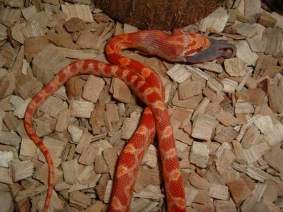 Elaphe guttata - photo | Reptarium