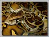 "<a href=""http://www.reptarium.cz/en/taxonomy/Python-bivittatus/photogallery/3432"">Photo of <em>Python bivittatus</em></a> by <a href=""http://www.reptarium.cz/en/profiles/259"">Vladimír Trailin</a>"
