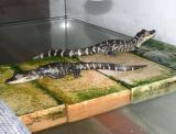"<a href=""http://www.reptarium.cz/en/taxonomy/Alligator-mississippiensis/photogallery/7019"">Photo of <em>Alligator mississippiensis</em></a> by <a href=""http://www.reptarium.cz/en/profiles/199"">Miroslav Procházka</a>"