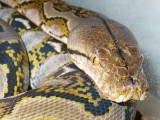 "<a href=""http://www.reptarium.cz/en/taxonomy/Broghammerus-reticulatus/photogallery/8962"">Photo of <em>Broghammerus reticulatus</em></a> by <a href=""http://www.reptarium.cz/en/profiles/1171"">Petr Stoklasa</a>"