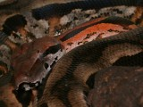 "<a href=""http://www.reptarium.cz/en/taxonomy/Acrantophis-madagascariensis/photogallery/16498"">Photo of <em>Acrantophis madagascariensis</em></a> by <a href=""http://www.reptarium.cz/en/profiles/1"">Jiří Hošek</a>"