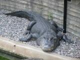 "<a href=""http://www.reptarium.cz/en/taxonomy/Alligator-mississippiensis/photogallery/16607"">Photo of <em>Alligator mississippiensis</em></a> by <a href=""http://www.reptarium.cz/en/profiles/155"">Tomáš Borovička</a>"