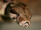 "<a href=""http://www.reptarium.cz/en/taxonomy/Boa-constrictor/photogallery/16529"">Photo of <em>Boa constrictor</em></a> by <a href=""http://www.reptarium.cz/en/profiles/1"">Jiří Hošek</a>"