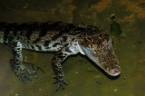 "<a href=""http://www.reptarium.cz/en/taxonomy/Crocodylus-siamensis/photogallery/15937"">Photo of <em>Crocodylus siamensis</em></a> by <a href=""http://www.reptarium.cz/en/profiles/1706"">Petr Szymonik</a>"