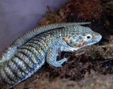 "<a href=""http://www.reptarium.cz/en/taxonomy/Abronia-aurita/photogallery/32427"">Photo of <em>Abronia aurita</em></a> by <a href=""http://www.reptarium.cz/en/profiles/14"">Pavel Šmek</a>"
