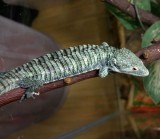 "<a href=""http://www.reptarium.cz/en/taxonomy/Abronia-aurita/photogallery/32435"">Photo of <em>Abronia aurita</em></a> by <a href=""http://www.reptarium.cz/en/profiles/14"">Pavel Šmek</a>"
