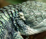 "<a href=""http://www.reptarium.cz/en/taxonomy/Abronia-aurita/photogallery/32437"">Photo of <em>Abronia aurita</em></a> by <a href=""http://www.reptarium.cz/en/profiles/14"">Pavel Šmek</a>"