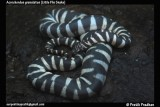 "<a href=""http://www.reptarium.cz/en/taxonomy/Acrochordus-granulatus/photogallery/32643"">Photo of <em>Acrochordus granulatus</em></a> by <a href=""http://www.reptarium.cz/en/profiles/5044"">Pratik Pradhan</a>"