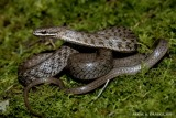 "<a href=""http://www.reptarium.cz/en/taxonomy/Amphiesma-platyceps/photogallery/25383"">Photo of <em>Amphiesma platyceps</em></a> by <a href=""http://www.reptarium.cz/en/profiles/3082"">PARAG DANDGE</a>"