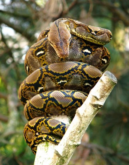 Сетчатый питон (Python reticulatus) фото