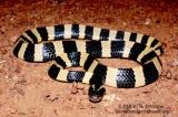 "<a href=""http://www.reptarium.cz/en/taxonomy/Bungarus-fasciatus/photogallery/22368"">Photo of <em>Bungarus fasciatus</em></a> by <a href=""http://www.reptarium.cz/en/profiles/3082"">PARAG DANDGE</a>"