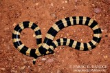 "<a href=""http://www.reptarium.cz/en/taxonomy/Bungarus-fasciatus/photogallery/22371"">Photo of <em>Bungarus fasciatus</em></a> by <a href=""http://www.reptarium.cz/en/profiles/3082"">PARAG DANDGE</a>"