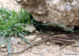 "<a href=""http://www.reptarium.cz/en/taxonomy/Chalcides-ocellatus/photogallery/33744"">Photo of <em>Chalcides ocellatus</em></a> by <a href=""http://www.reptarium.cz/en/profiles/6579"">Omid Mozaffari</a>"