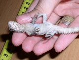 "<a href=""http://www.reptarium.cz/en/taxonomy/Ctenosaura-similis/photogallery/32442"">Photo of <em>Ctenosaura similis</em></a> by <a href=""http://www.reptarium.cz/en/profiles/14"">Pavel Šmek</a>"