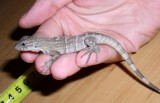 "<a href=""http://www.reptarium.cz/en/taxonomy/Ctenosaura-similis/photogallery/32443"">Photo of <em>Ctenosaura similis</em></a> by <a href=""http://www.reptarium.cz/en/profiles/14"">Pavel Šmek</a>"