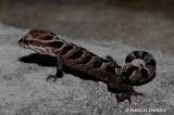"<a href=""http://www.reptarium.cz/en/taxonomy/Cyrtodactylus-nebulosus/photogallery/22337"">Photo of <em>Cyrtodactylus nebulosus</em></a> by <a href=""http://www.reptarium.cz/en/profiles/3082"">PARAG DANDGE</a>"
