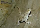"<a href=""http://www.reptarium.cz/en/taxonomy/Cyrtopodion-caspium/photogallery/32940"">Photo of <em>Cyrtopodion caspium</em></a> by <a href=""http://www.reptarium.cz/en/profiles/6421"">Barbod Safaei Mahroo</a>"