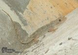 "<a href=""http://www.reptarium.cz/en/taxonomy/Hemidactylus-flaviviridis/photogallery/32967"">Photo of <em>Hemidactylus flaviviridis</em></a> by <a href=""http://www.reptarium.cz/en/profiles/6421"">Barbod Safaei Mahroo</a>"