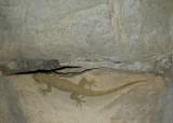 "<a href=""http://www.reptarium.cz/en/taxonomy/Hemidactylus-flaviviridis/photogallery/33555"">Photo of <em>Hemidactylus flaviviridis</em></a> by <a href=""http://www.reptarium.cz/en/profiles/6579"">Omid Mozaffari</a>"