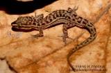 """<a href=""""http://www.reptarium.cz/en/taxonomy/Hemidactylus-gracilis/photogallery/22307"""">Photo of <em>Hemidactylus gracilis</em></a> by <a href=""""http://www.reptarium.cz/en/profiles/3082"""">PARAG DANDGE</a>"""