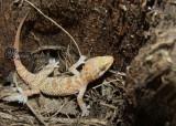 "<a href=""http://www.reptarium.cz/en/taxonomy/Hemidactylus-persicus/photogallery/32968"">Photo of <em>Hemidactylus persicus</em></a> by <a href=""http://www.reptarium.cz/en/profiles/6421"">Barbod Safaei Mahroo</a>"