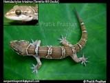 "<a href=""http://www.reptarium.cz/en/taxonomy/Hemidactylus-triedrus/photogallery/32494"">Photo of <em>Hemidactylus triedrus</em></a> by <a href=""http://www.reptarium.cz/en/profiles/5044"">Pratik Pradhan</a>"