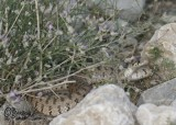 "<a href=""http://www.reptarium.cz/en/taxonomy/Hemorrhois-ravergieri/photogallery/32995"">Photo of <em>Hemorrhois ravergieri</em></a> by <a href=""http://www.reptarium.cz/en/profiles/6421"">Barbod Safaei Mahroo</a>"