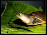 "<a href=""http://www.reptarium.cz/en/taxonomy/Lissemys-punctata/photogallery/26703"">Photo of <em>Lissemys punctata</em></a> by <a href=""http://www.reptarium.cz/en/profiles/5044"">Pratik Pradhan</a>"