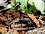 """<a href=""""http://www.reptarium.cz/en/taxonomy/Macropisthodon-plumbicolor/photogallery/26813"""">Photo of <em>Macropisthodon plumbicolor</em></a> by <a href=""""http://www.reptarium.cz/en/profiles/5163"""">Ankit Vyas</a>"""