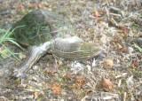 """<a href=""""http://www.reptarium.cz/en/taxonomy/Mauremys-caspica/photogallery/33754"""">Photo of <em>Mauremys caspica</em></a> by <a href=""""http://www.reptarium.cz/en/profiles/6579"""">Omid Mozaffari</a>"""