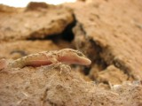 "<a href=""http://www.reptarium.cz/en/taxonomy/Mediodactylus-heterocercum/photogallery/32943"">Photo of <em>Mediodactylus heterocercum</em></a> by <a href=""http://www.reptarium.cz/en/profiles/6421"">Barbod Safaei Mahroo</a>"