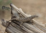 "<a href=""http://www.reptarium.cz/en/taxonomy/Mediodactylus-russowii/photogallery/32938"">Photo of <em>Mediodactylus russowii</em></a> by <a href=""http://www.reptarium.cz/en/profiles/6421"">Barbod Safaei Mahroo</a>"