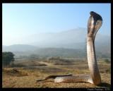 "<a href=""http://www.reptarium.cz/en/taxonomy/Naja-naja/photogallery/33193"">Photo of <em>Naja naja</em></a> by <a href=""http://www.reptarium.cz/en/profiles/5044"">Pratik Pradhan</a>"